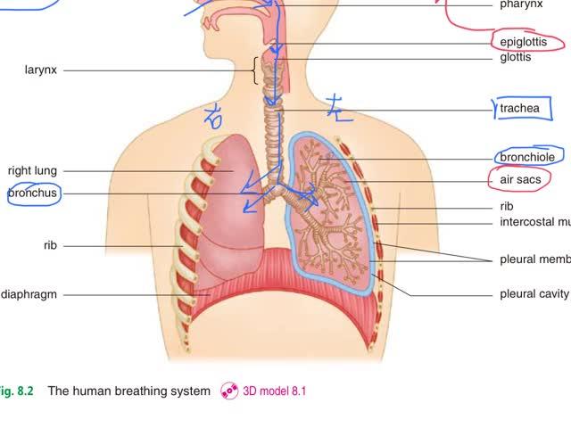 Biological Concept-Ch.7 (7) - Respiratory system Air Sacs